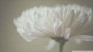 white_petals_